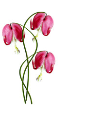 Pink Bleeding Heart (Lamprocapnos Spectabilis) Flowers on White