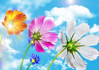 Cosmos flowers and cornflowers on a background of blue sky with