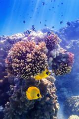 Maskenfalterfisch an der Koralle
