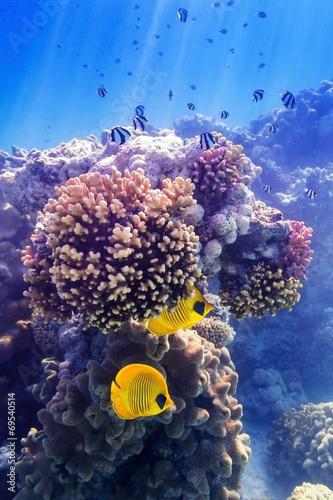 Fototapeta Maskenfalterfisch an der Koralle
