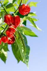 Chilipflanze Sorte Habanero quer