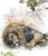 Watercolor Image Of  Sleeping Lion