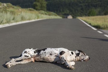 sleeping dog on road