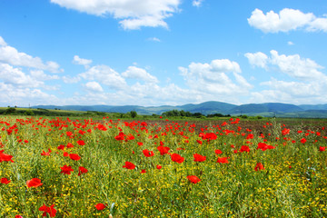 Field with green grass, yellow flowers and red poppies