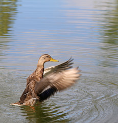 Beautiful Duck on the water