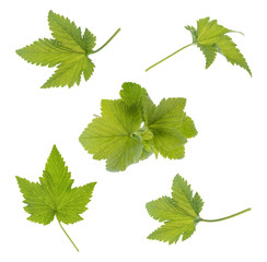 Currant leaf isolated. Collection