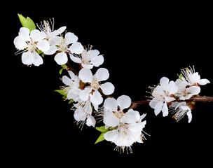 Branch with apricot flowers on a dark background