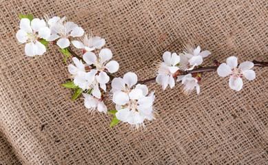 flower of apricot on sack material