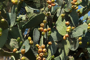 Prickly pears in a field
