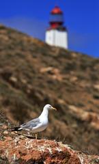 Seagulls in land in the island Berlenga, Portugal.