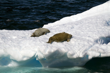 Antarctica - Seals - Crabeater Seals Tanning On An Ice Floe