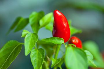 red Capsicum annuum , Cayenne pepper , hot pepper