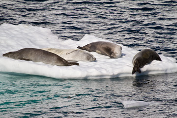 Antarctica - Antarctic Seals -  Seals Group On An Ice Floe