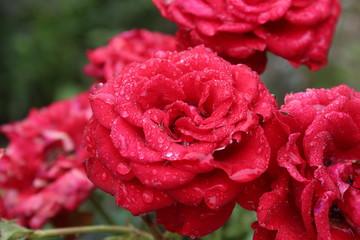Rosen mit Morgentau