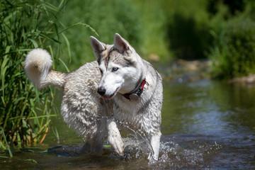 Husky spielt im Wasser