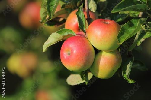 canvas print picture Äpfel