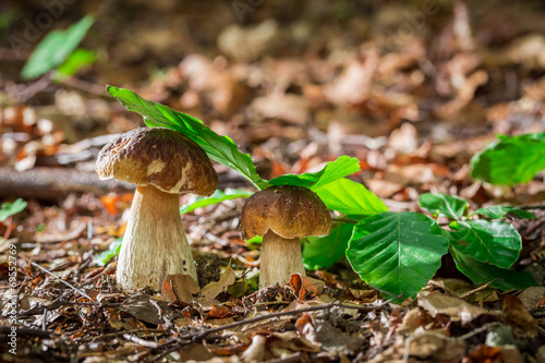 Two boletus mushrooms in oak forest - 69552769