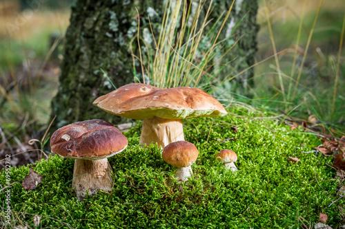 Several boletus mushroom on moss in forest - 69552782