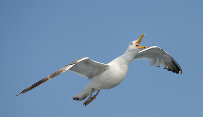 Thayer's gull is flying in the sky near ferry