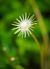Dandelion flower. Macro with shallow depth of field.