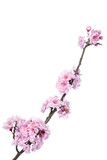 Beautiful pink cherry blossom isolated on a white background. - 69556926