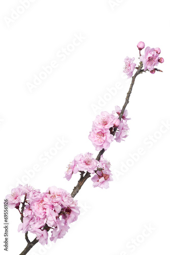 Fotobehang Kersen Beautiful pink cherry blossom isolated on a white background.