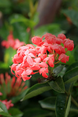 Red ixora flower in nature