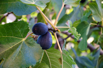 Ripe figs on a branch