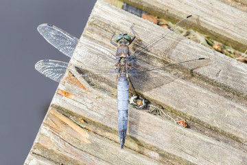 Blue dragonfly resting on wood