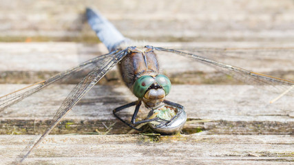 Blue dragonfly protecting eggs