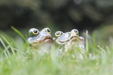 young frog couple sit together green grass bright summer day