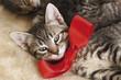 Hauskatze,Kätzchen tragen rote Schleife