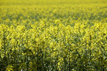 Rapsfeld (Brassica napus)