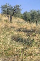 Olive trees1