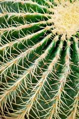 Cactus close-up. Succulent plant detail.