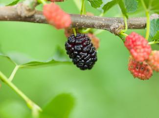 Ripe black mulberry