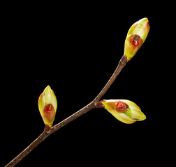 Unfolded buds on twig