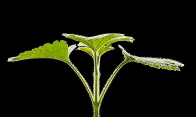 Fluffy grass symmetric leaves