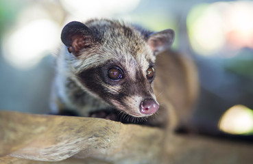 Asian Palm Civet - animal who produce coffee Kopi luwak