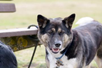 Akita dog portrait