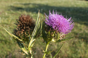 Thistle blossoms closeup on green meadow background
