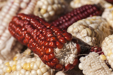 White and red raw organic corncobs closeup as background