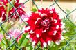 canvas print picture - Rot-weiße Dahlie im Garten