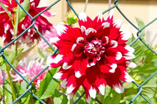canvas print picture Rot-weiße Dahlie im Garten