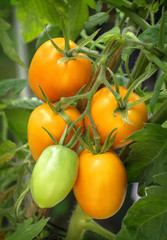 Branch growing tomatoes plum varieties