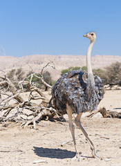 Female of African ostrich (Struthio camelus)