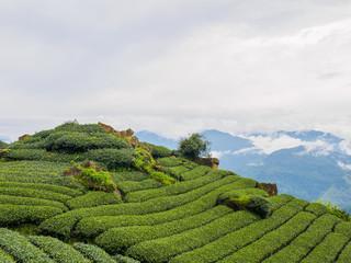 台湾 阿里山国家風景区 茶畑