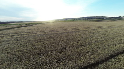Flying over wheat field in sunset