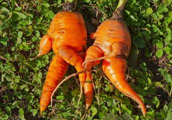 Unusual carrots 3
