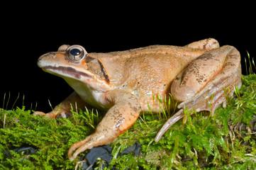 Frog on moss 12